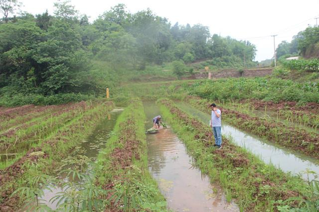 在生态沟中种植水生植物