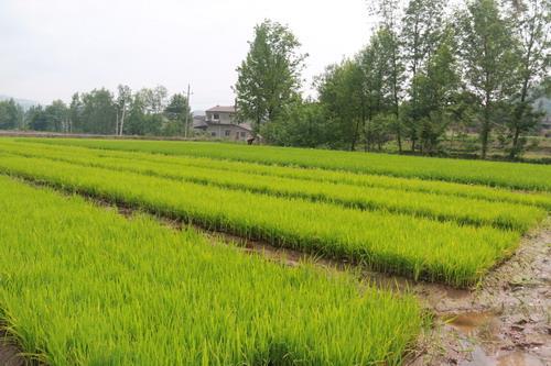 水稻机插秧软盘育秧